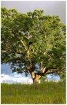 drewno dębowe na tarasy drewniane – Dąb