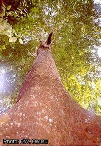Deska tarasowa z drzewa Denya