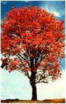 Deska tarasowa z drzewa Ipe Lapacho