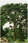 tarasy drewniane gatunki drewna IROKO