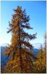 Deska tarasowa z drzewa Modrzew Syberyjski