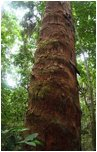 Deska tarasowa z drzewa Okume