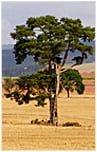 Deski tarasowe Sosnowe na Taras Drewniany