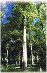 drewno tekowe tarasy drewniane gatunki drewna TEAK