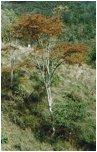 egzotyczna deska tarasowa gatunki drewna typu GARAPA