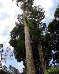 tarasy drewniane gatunki drewna MUIRACATIARA (Tiger Wood)