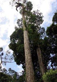 Drewno na taras z drzewa Muiracatira