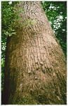 Drewno na Trasa z drzewa Bangkirai