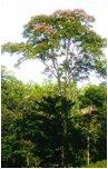 tarasy drewniane gatunki drewna CUMARU