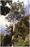 Drewno na Trasa z drzewa Jatoba