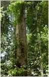 tarasy drewniane gatunki drewna MERBAU