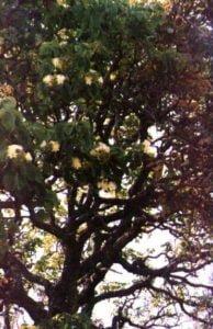 Drewno na Trasa z drzewa Pequi