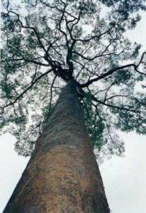 Drewno na Trasa z drzewa Punah