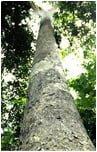 tarasy drewniane gatunki drewna SAPELI