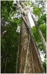tarasy drewniane gatunki drewna TATAJUBA