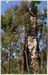 tarasy drewniane gatunki drewna YELLOW BALAU