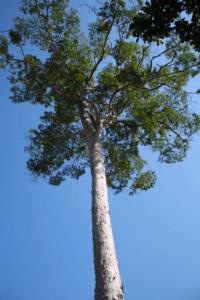 Drzewo na deską tarasową Angelim Pedra