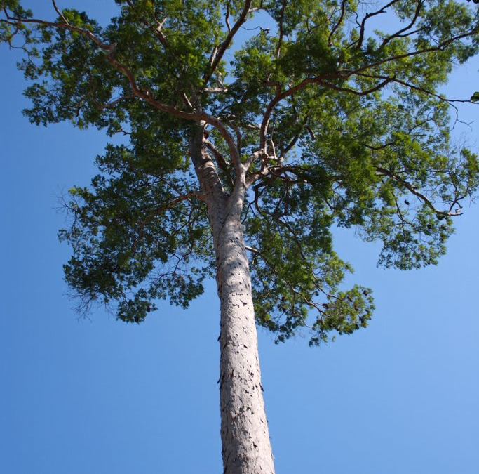 tarasy drewniane gatunki drewna ANGELIM PEDRA