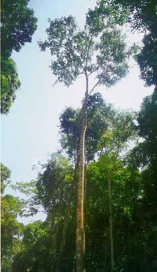 tarasy drewniane gatunki drewna AZOBE BONGOSSI