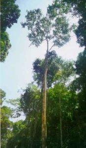 Drzewo na deską tarasową Badi