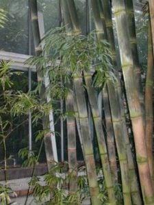 Drzewo na deską tarasową Bambus