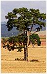 tarasy drewniane gatunki drewna SOSNA